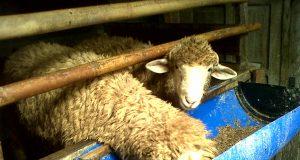 cara membuat pakan fermentasi untuk kambing jawa